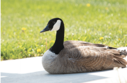 WARNING BEWARE OF THE GOOSE: Millard North's resident goose sits on guard in front of the school. The goose has been nested for several weeks and will remain until her eggs are hatched.